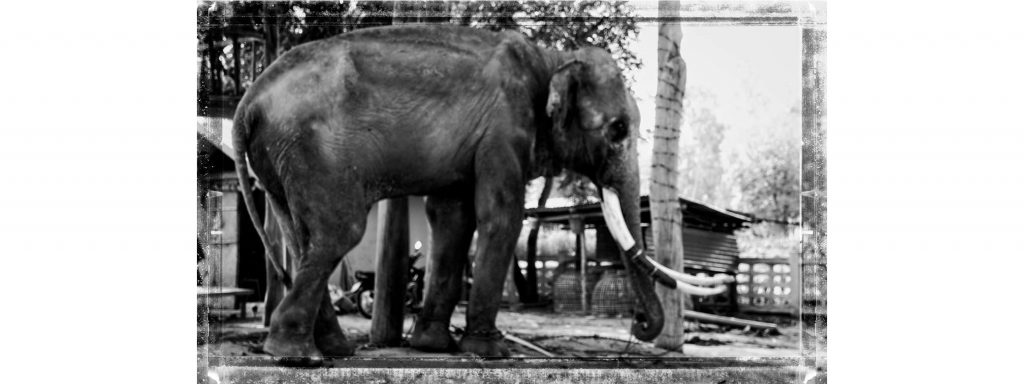 The Need - Old Bull Elephant