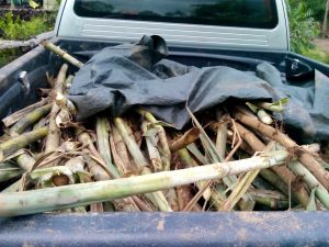 Truck load of sugar cane from Mae Kams family