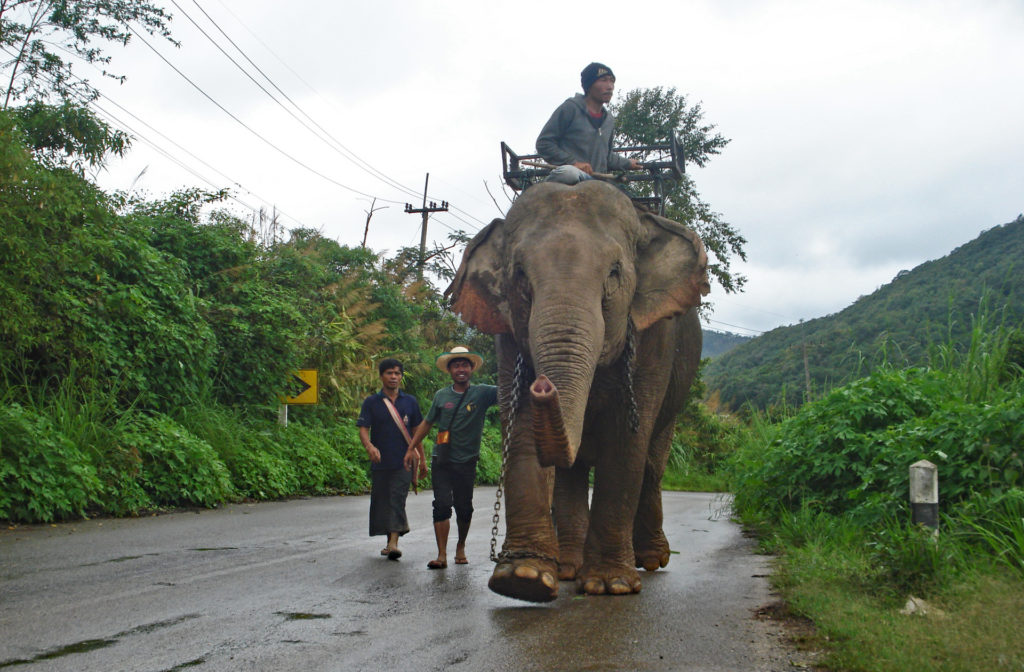 Captive 'Domestic' Elephants - Mae Kam walking to BEES