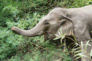 Mae Jumpee enjoying wild bamboo