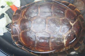Holly-the-turtleTerrapin-enjoys-a-sun-soak
