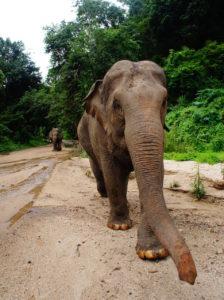 The-elephants-enjoying-a-lovely-walk-towards-Maechaem The sky is cloudy
