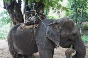 A very old and tired trekking elephant. NOTE: This is NOT taken at BEES and was taken in a camp in Chiang Mai