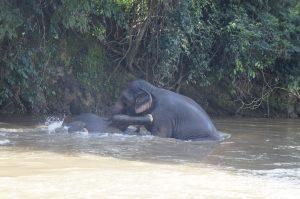 Mae Kam and Mae Jumpee play in the river. Mae Jumpee playfully kicking Mae Kam!