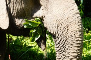roughly-elephants-eat-250kg-per-day