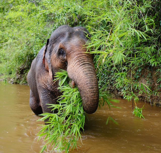 Elephant-in-River-Feature