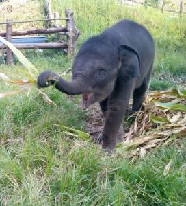 Boon-says-trunks-up-for-the-building-of-the-new-enclosure