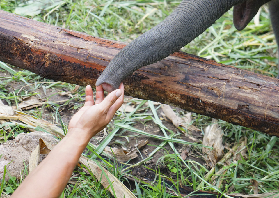 Captive 'Domestic' Elephants - Human Elephant Relationships